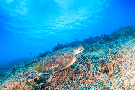 interraction: Green Turtle swimming over a tropical coral reef