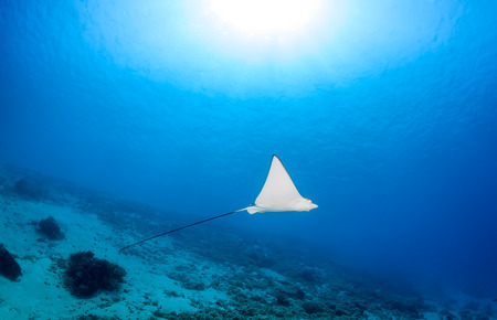 spotted ray: Juvenile Spotted Eagle Ray in clear water.  Gili Meno, Indonesia