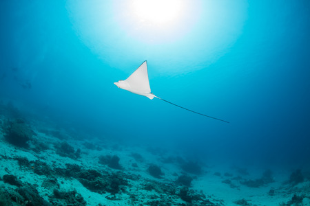 spotted ray: A baby spotted Eagle Ray and sunburst on a tropical coral reef