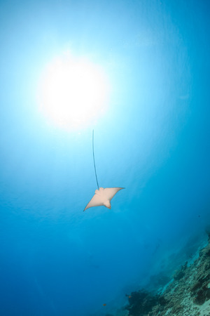 spotted ray: Juvenile Spotted Eagle Ray in clear water with SCUBA divers in the background