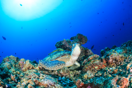interraction: A Green Turtle sits on a tropical coral reef with a Remota on its back and sunburst behind