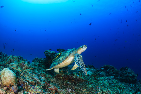 interraction: Green Turtle with Remora swimming over  tropical coral reef Stock Photo