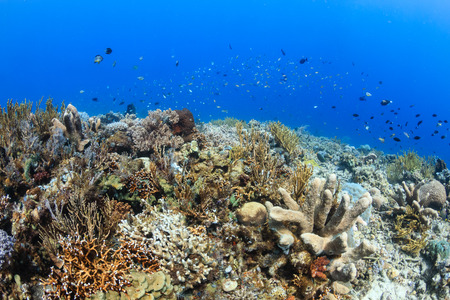 komodo island: Tropical Coral Reef