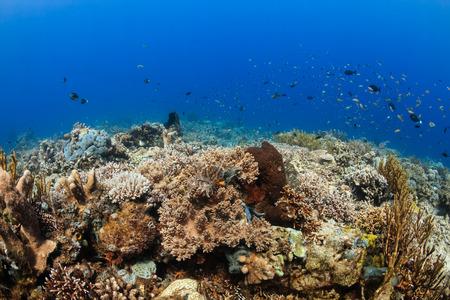damselfish: Beautiful colorful,healthy tropical coral reef