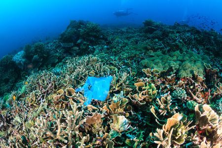 Manmade Pollution - a discarded plastic bags lies entangled on a tropical coral reef while SCUBA divers swim past in the background