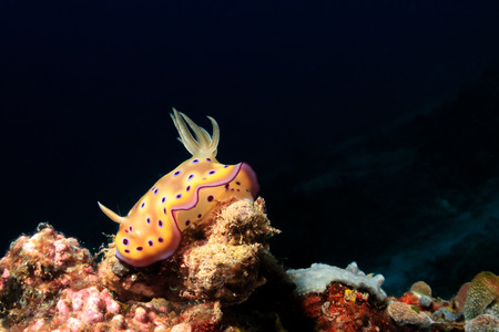 ange: Brightly colored Chromodoris Nudibranch on a tropical coral reef