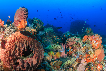 indo pacific: Sweetlips, sponges and colorful corals on a tropical reef