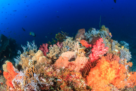 Vividly colored soft corals on a thriving, healthy tropical coral reef photo