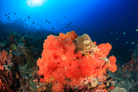 soft corals: Bright, colorful soft corals on a healthy tropical coral reef Stock Photo