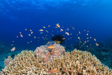anthias: Anthias and fish swim around coral on a tropical reef Stock Photo