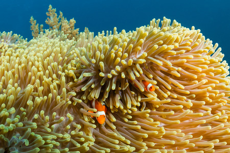 Pacific Clownfish swimming around their host anemone on a tropical coral reef Banco de Imagens