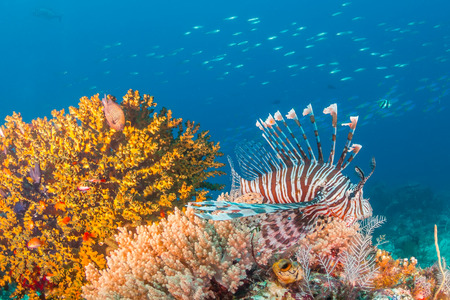 Lionfish hunt on a dark, tropical coral reef photo