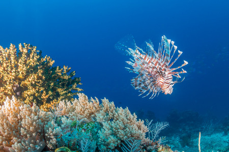 pterois volitans: Lionfish hunt on a dark, tropical coral reef