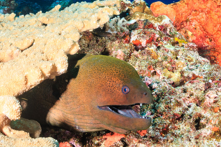 Giant Moray Eel hiding amongst hard corals on a tropical reef photo
