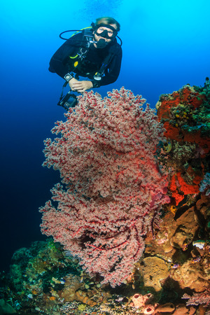 komodo island: SCUBA diver swimming next to delicate, colorful soft and hard corals on a tropical reef Stock Photo