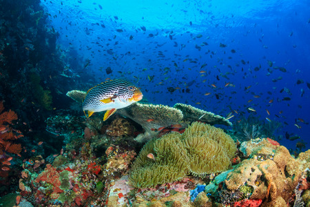 thriving: Oriental Sweetlips swimming across a healthy, thriving, colorful tropical coral reef Stock Photo
