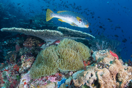 indo pacific: Sweetlips and other fish swimming around a colorful tropical reef