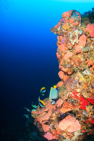 bannerfish: Tropical fish swim along a coral reef wall in clear water