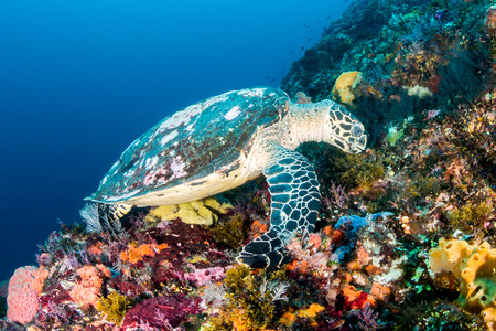 interraction: Hawksbill Sea Turtle feeding on a healthy tropical coral reef