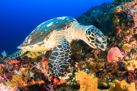 soft coral: Hawksbill Sea Turtle feeding on a tropical coral reef