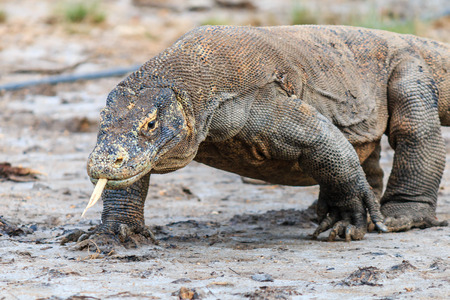 komodo: Komodo Dragon, tongue extended and salive dripping from its mouth in the Komodo region
