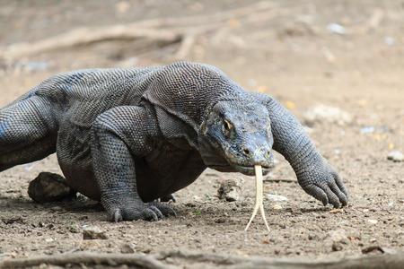 komodo island: Large Wild Komodo Dragon