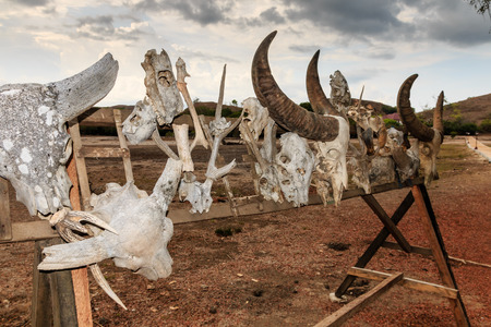 merciless: Various animal skulls of Komodo Dragon victims