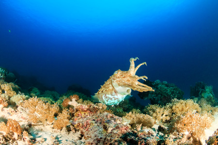 Cuttlefish moving around a tropical coral reef at dusk photo