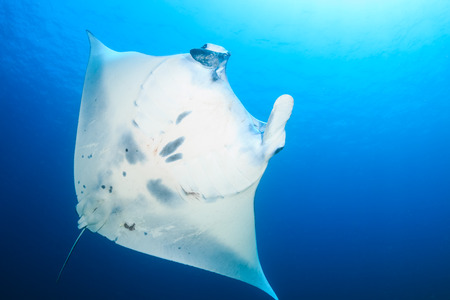 Underside of a huge Manta Ray photo