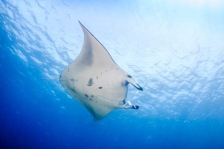 Large Manta Ray over a tropical coral reef photo