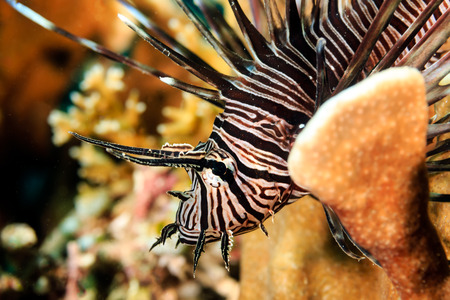 turkeyfish: A brightly colored and patterned Lionfish on a tropical coral reef