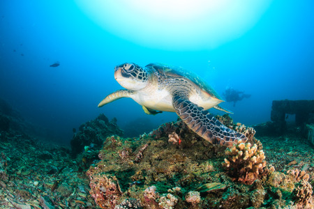 interraction: Green Turtle approaches the camera with SCUBA divers behind