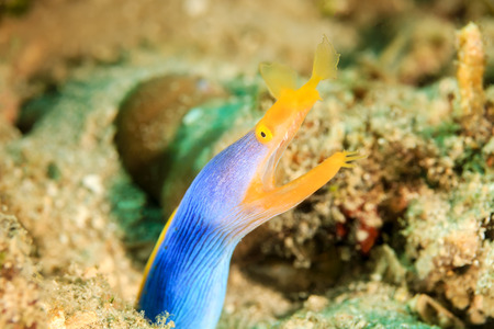 Brightly colored Ribbon Eel pokes its head out of a sandy seafloor on a tropical reef