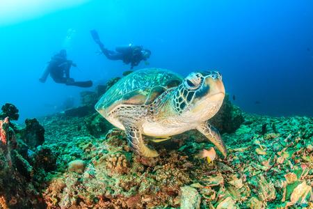 그린 거북이 스쿠버 다이버와 함께 카메라에 접근합니다.