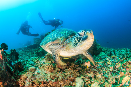 Green Turtle approaches the camera with SCUBA divers behind