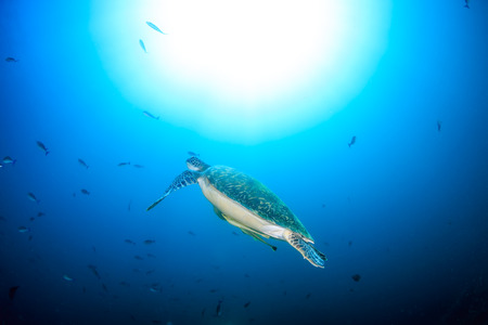interraction: A Green Turtle swims towards the surface of the ocean
