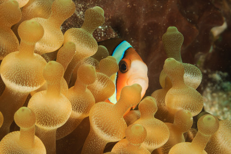 amphiprion bicinctus: Clownfish hiding in a bubble anemone on a tropical coral reef Stock Photo