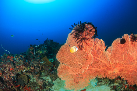 gorgonian sea fan: A large sea fan with Crinoids on a deep water coral reef