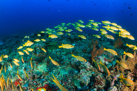 rabbitfish: A shoal of Bluestriped Snapper on a tropical coral reef
