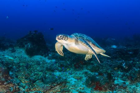 깊은 열대 산호초 위의 녹색 거북이 수영 스톡 콘텐츠
