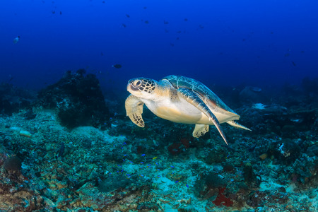A Green Turtle swimming above a deep, tropical coral reef