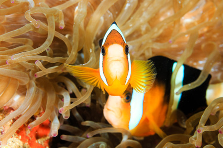 A pair of Banded Clownfish in host anemone on a tropical coral reef