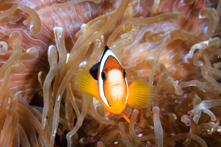 amphiprion bicinctus: Banded Clownfish in a host anemone