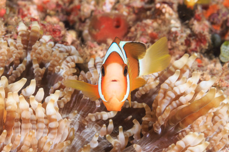 clown fish amphiprion: A Clownfish in a small host anemone