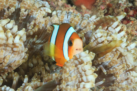amphiprion bicinctus: Small Clownfish in a host anemone on a tropical reef