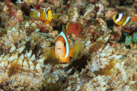 amphiprion bicinctus: Family of Clownfish in an anemone