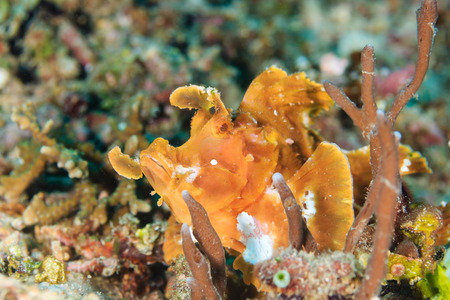 indo pacific: A Paddle Flap Scorpionfish (Rhinpoias (Eschmeyer) on a tropical coral reef