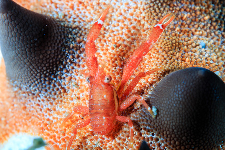 lembeh: A Tiny Squat Lobster on the back of a starfish