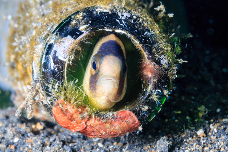 blenny: A fish peers out from a discarded bottle on the seabed