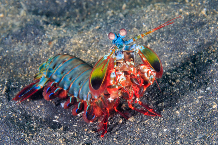 Vividly colored Peacock Mantis Shrimp on a black sandy seabed Banque d'images